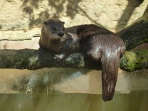 The Canadian river otter.