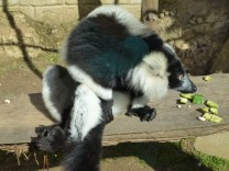 The black & white ruffed lemur.