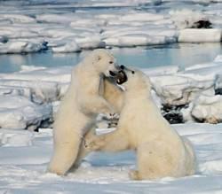 Polar_Bears_Play_Fighting