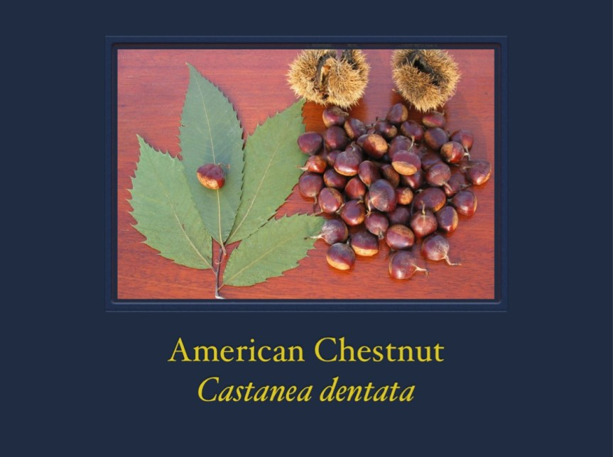 American Chestnut - Castanea dentata