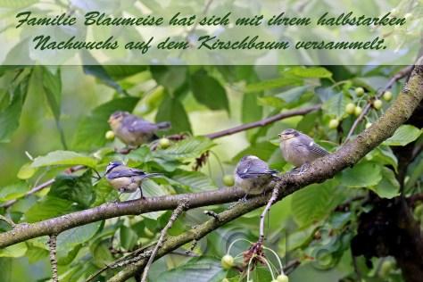 Blaumeisen, autor: charlotte moser