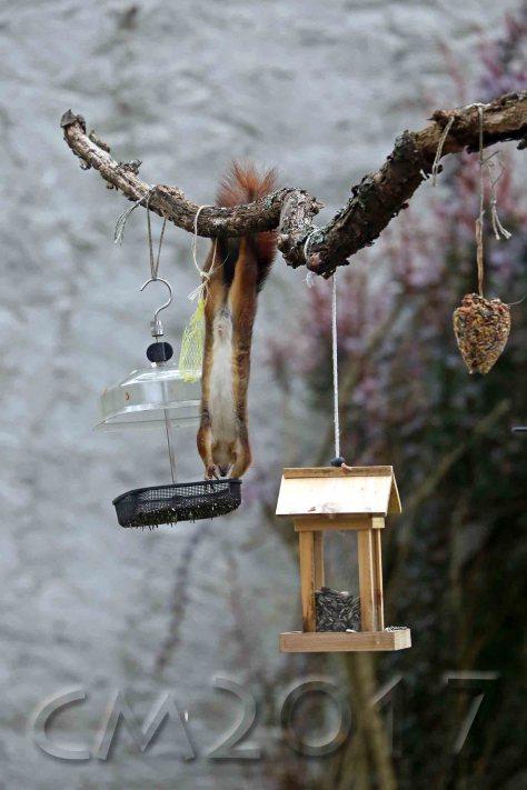 Eichhörnchen, autor: charlotte moser