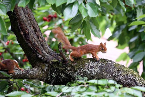 Eichhörnchen, Autor: Charlotte Moser 2018