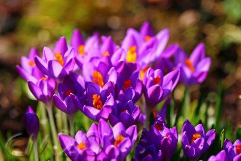 Frühlingsboten, autor: charlotte moser