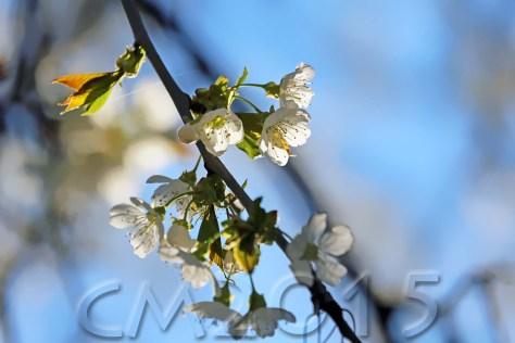 Kirschblüte, Autor: Charlotte Moser