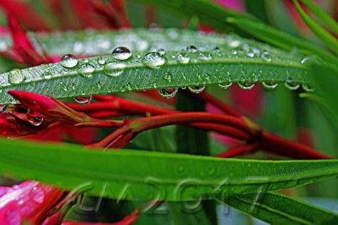 Regentropfen auf Oleander, autor: charlotte moser