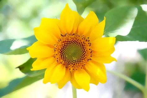 Sonnenblume, Autor: Charlotte Moser 2018