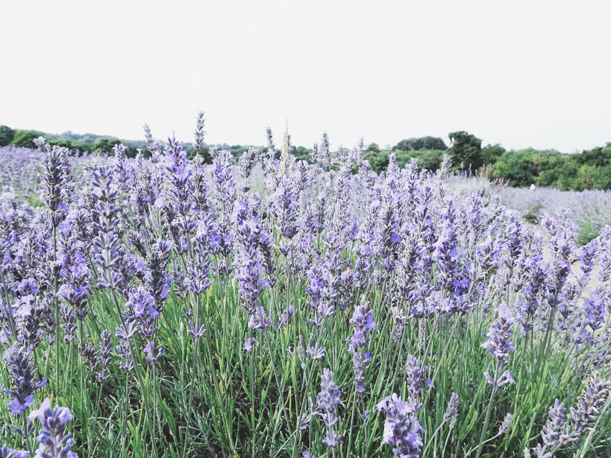 Outdoor parks in London - Mayfield Lavender Farm