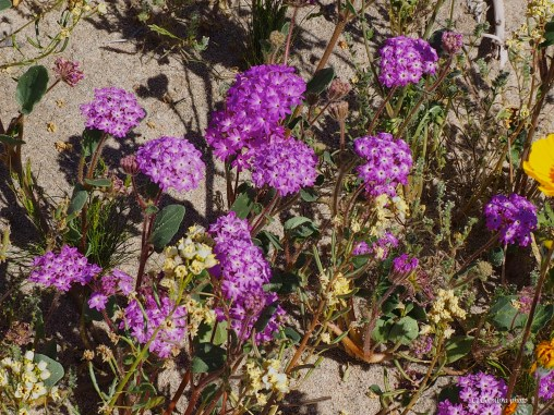 Desert bloom and rocks