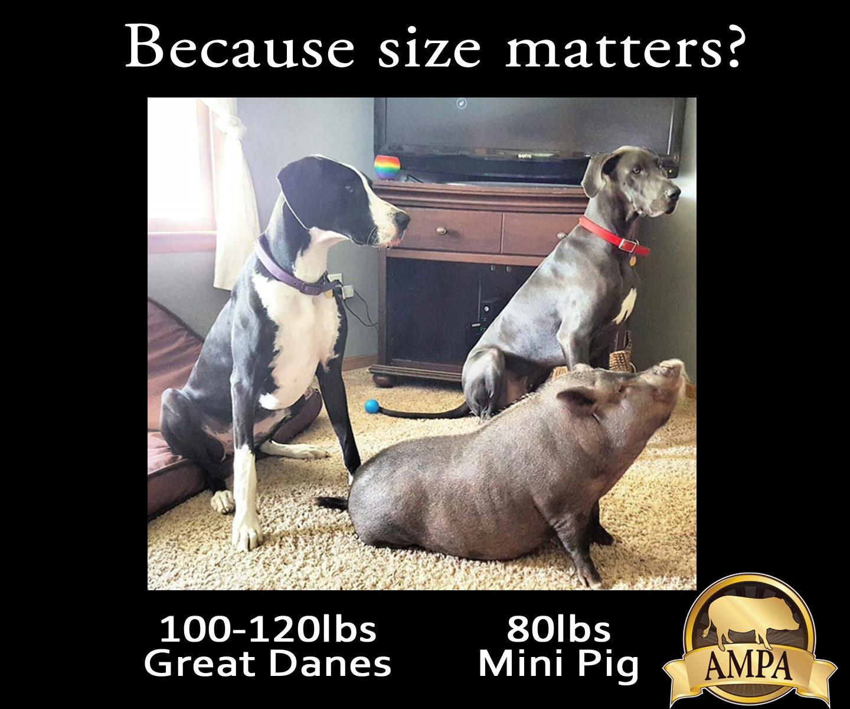 Mini Pig Sizes - Charming Mini Pigs