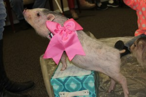 Therapy pig training