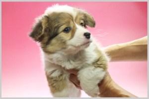 ウェルシュ・コーギー・ペンブローク01子犬販売