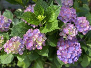 茶六本館 紫陽花
