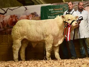 res-junior-male-calf-champion-pottlereagh-mark-with-martin-and-patrick-hughes