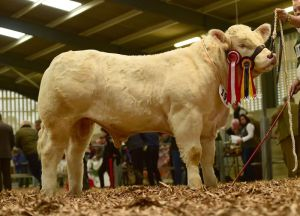 reserve-senior-male-calf-champion-bostonia-lorenzo-2-exhibited-by-the-feeney-brothers