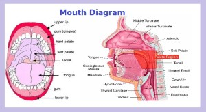 Mouth Diagram | Chart Diagram  Charts, Diagrams, Graphs
