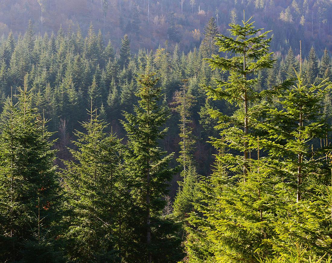 evergreen-forrest