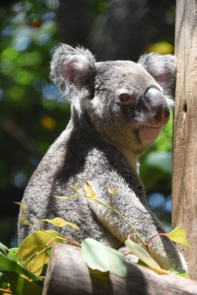 Palm Beach Zoo Koala