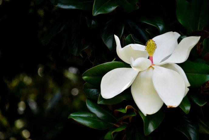 Magnolia South Carolina