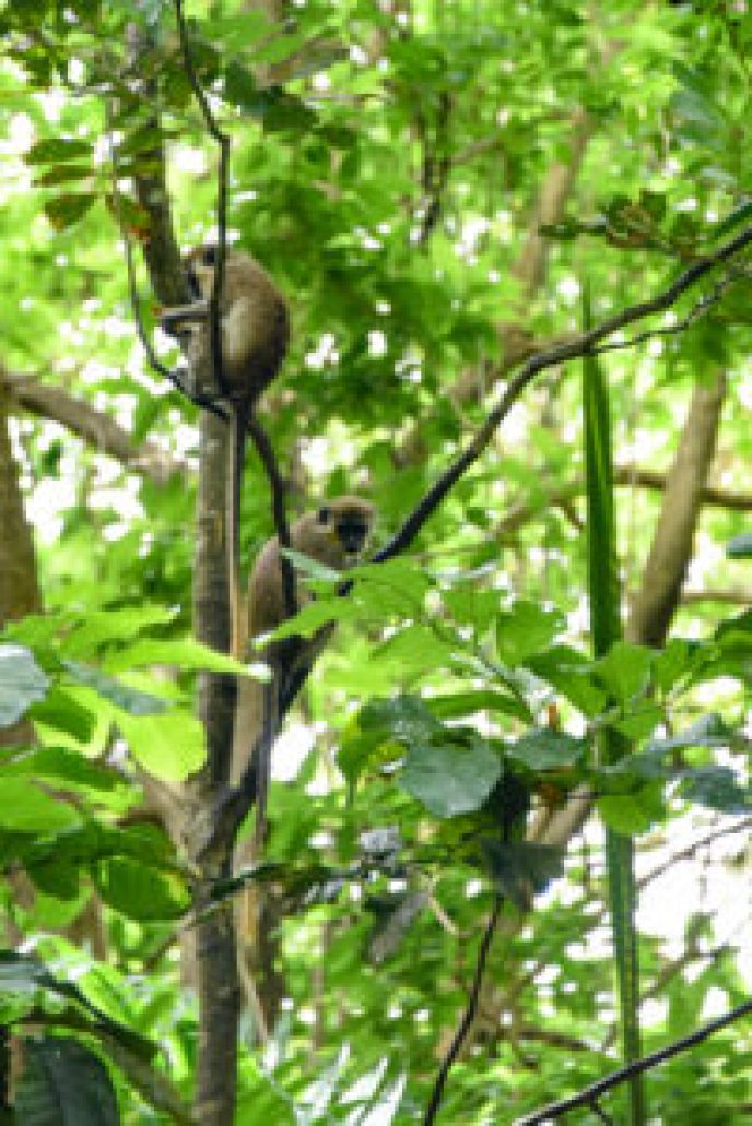 Barbados Welchman Hall Gully Green Monkeys