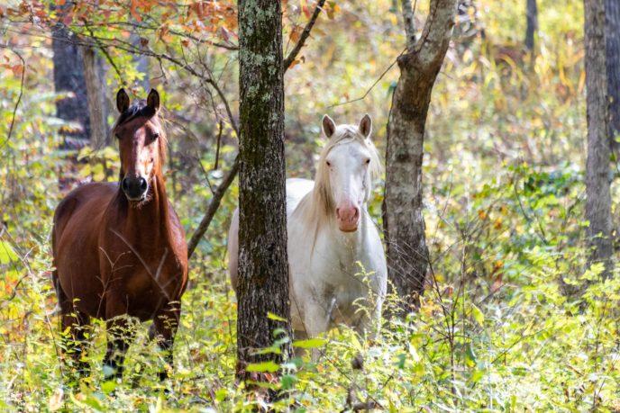 Missouri Wild Horses ©Rachel Hunt