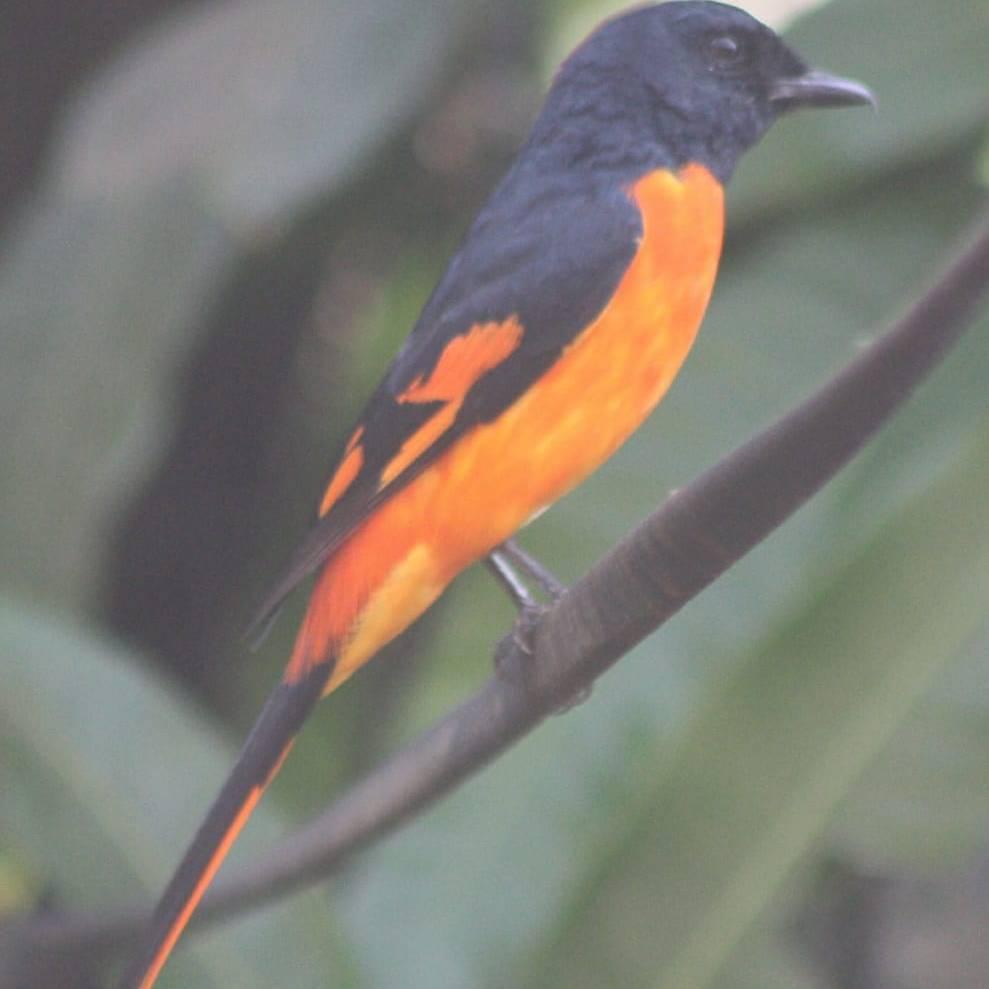 Orange Gometa