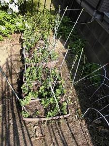 ミニミニ家庭菜園&ミニガーデニング つるなしえんどうを育てているプランター/どこまでもアマチュア
