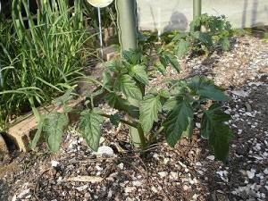 ミニミニ家庭菜園&ミニガーデニング ミニトマトの苗/どこまでもアマチュア