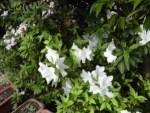 ミニミニ家庭菜園&ミニガーデニング/どこまでもアマチュア つつじの花
