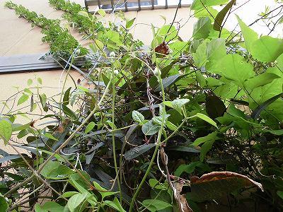 ミニミニ家庭菜園&ミニガーデニング つる性植物/どこまでもアマチュア