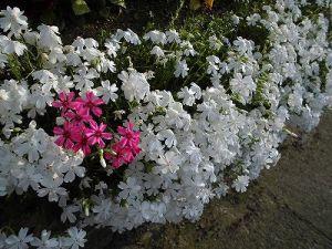ミニミニ家庭菜園&ミニガーデニング 色違いのシバザクラの花/どこまでもアマチュア