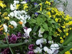 ミニミニ家庭菜園&ミニガーデニング 花壇の花に混ざっているあけび/どこまでもアマチュア