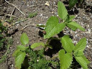 ミニミニ家庭菜園&ミニガーデニング レモンバームの葉の上に載せたテントウムシのような害虫/どこまでもアマチュア
