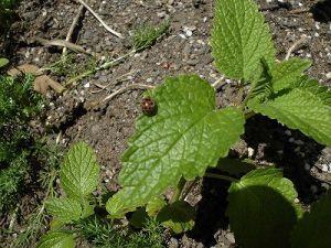 ミニミニ家庭菜園&ミニガーデニング レモンバームの葉の上のテントウムシダマシ/どこまでもアマチュア