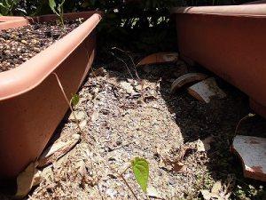 ミニミニ家庭菜園&ミニガーデニング ヤマノイモのムカゴ/どこまでもアマチュア