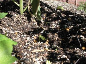 ミニミニ家庭菜園&ミニガーデニング つるなしいんげんの芽/どこまでもアマチュア