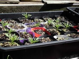 ミニミニ家庭菜園&ミニガーデニング マリーゴールドの芽/どこまでもアマチュア