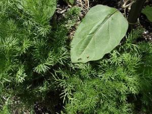 ミニミニ家庭菜園&ミニガーデニング ナスの葉/どこまでもアマチュア