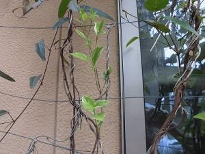 ミニミニ家庭菜園&ミニガーデニング ハーデンベルギアとテイカカズラ/どこまでもアマチュア