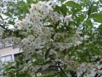 ミニミニ家庭菜園&ミニガーデニング/どこまでもアマチュア 満開のエゴノキの花