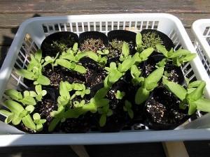 ミニミニ家庭菜園&ミニガーデニング 百日草の苗/どこまでもアマチュア
