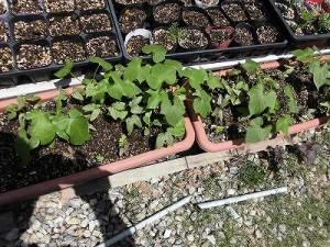 ミニミニ家庭菜園&ミニガーデニング アサガオの苗/どこまでもアマチュア