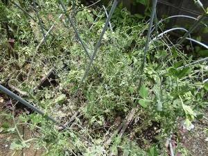 ミニミニ家庭菜園&ミニガーデニング 壊滅状態のつるなしえんどう/どこまでもアマチュア