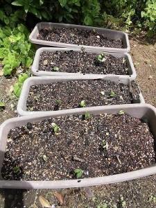 ミニミニ家庭菜園&ミニガーデニング 枝豆の芽/どこまでもアマチュア
