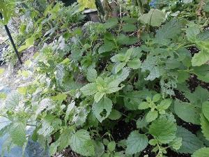 ミニミニ家庭菜園&ミニガーデニング レモンバーム/どこまでもアマチュア