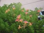 ミニミニ家庭菜園&ミニガーデニング/どこまでもアマチュア さらに増えたノウゼンカズラの花