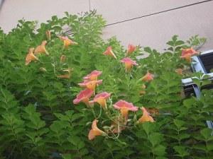 ミニミニ家庭菜園&ミニガーデニング さらに増えたノウゼンカズラの花/どこまでもアマチュア