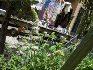 ミニミニ家庭菜園&ミニガーデニング ペパーミントの花/どこまでもアマチュア