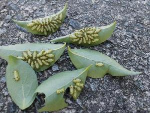 ミニミニ家庭菜園&ミニガーデニング エゴノキの葉にとりついたイラガの幼虫/どこまでもアマチュア