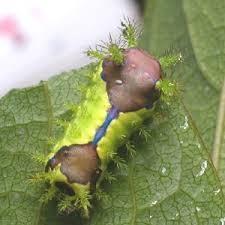 ミニミニ家庭菜園&ミニガーデニング 成長したイラガの幼虫/どこまでもアマチュア